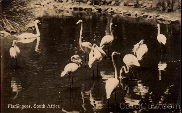 Flamingoes, South Africa Birds