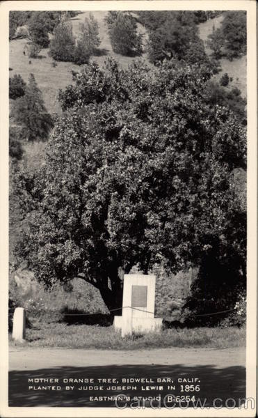 Mother Orange Tree, Planted by Judge Joseph Lewis in 1856 Bidwell Bar California