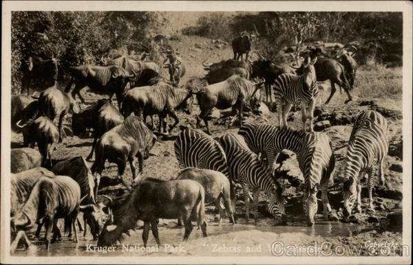Kruger National Park, Zebras and Wildebeeste Multiple Animals