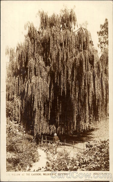 Willow at the Gardens Victoria Australia