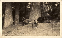 Three Cubs, Sequoia National Park