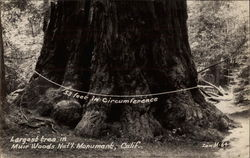 Largest Tree in Muir Woods National Monument