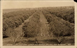 Grapefruit Orchard in the Lower Rio Grande Valley