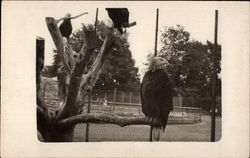 Eagles in Enclosure