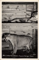 Mountain Lions, Fort Weare