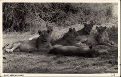 Pride of Lions - East African Game