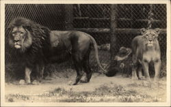 Cyclone and Mary - Lions at Gay's Lion Farm