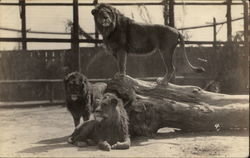 Group of Lions in Enclosure