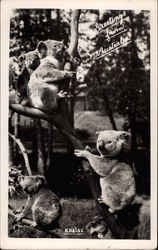 Group of Koala Bears