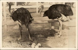 Florida Grown Ostrich - At Caspers Alligator Jungle