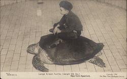 Large Green Turtle, New York Aquarium