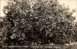 Real Grapefruit Tree, Lower Rio Grande Valley Postcard