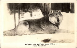 McCleery's Lobo and White Arctic Wolves Postcard