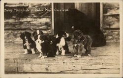 Baby Malamute Alaska Mail Carriers