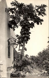 Papaya Tree Postcard