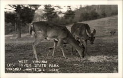 Virginia Whitetail Deer