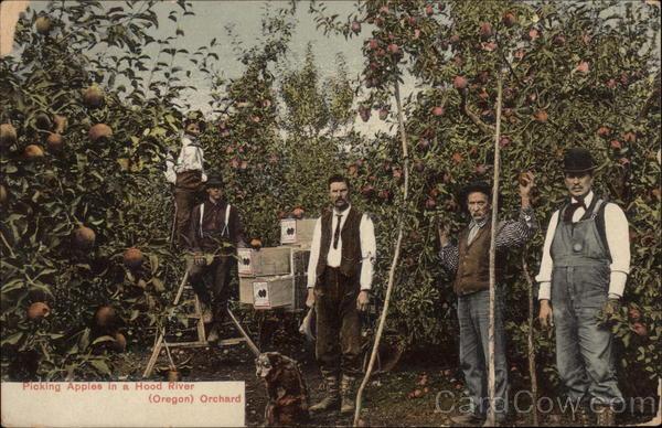Picking Apples in a Hood River Orchard Oregon