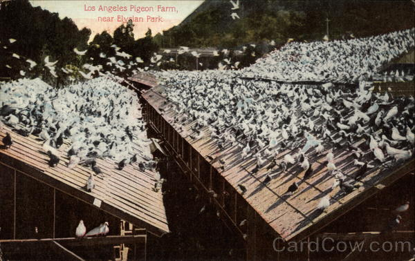 Pigeon Farm near Elysian Park Los Angeles California