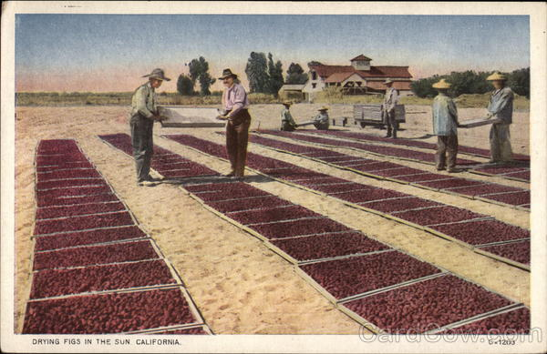 Drying Figs in the Sun California Fruit