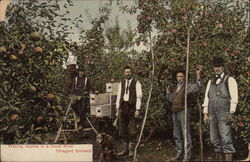 Picking Apples in a Hood River Orchard