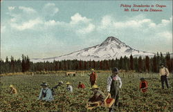 Picking Strawberries in Oregon