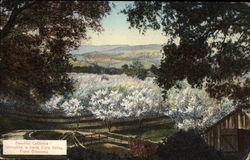 Springtime in Santa Clara Valley, Prune Blossoms