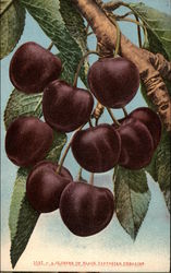 Cluster of Black Tartarian Cherries
