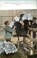 Plucking the Plumes at the Cawston Ostrich Farm