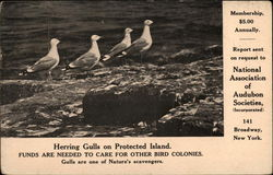 Herring Gulls on Protected Island