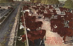 Cattle at Stockyards
