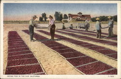 Drying Figs in the Sun