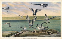 Sea Gulls on the Pacific