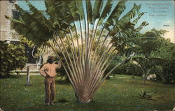 The Travelers Palm, Hope Gardens