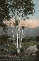 Birches on grounds of Maplewood Hotel