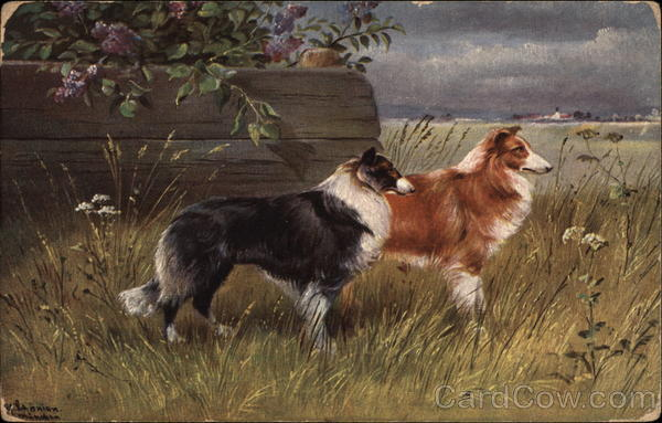 Collies Dogs