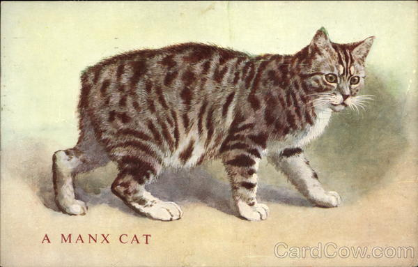 A manx cat without a tail Cats