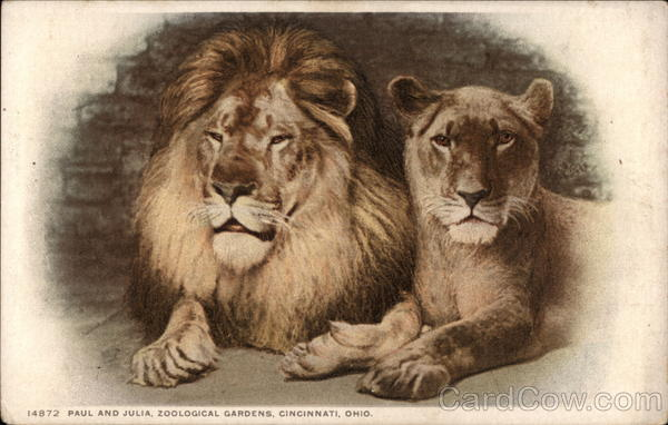 one male lion and one female lion