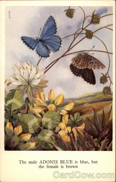 Birds and Butterflies Series - Adonis Blue