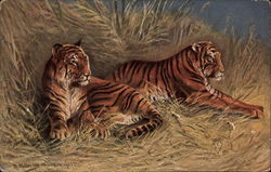 Two tigers laying in straw