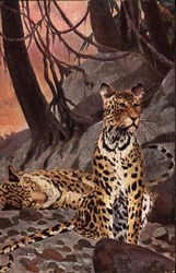 Leopards, on sitting, one lying down