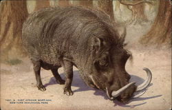 East African Wart-Hog, New York Zoological Park