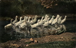 White Ducks Getting out of Pond - Did anyone say, eels ?