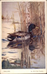 Mallard, Artwork by Winifred Austen