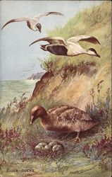 Three Eider-Ducks at their Nest