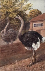 Two Ostriches Separated by a Fence