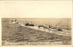 Towing Bateaus of Pacific Oysters to Ilwaco Oyster Co.'s Cannery