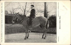 From the Gardens of the Zoological Society, Grevy's Zebra Mare