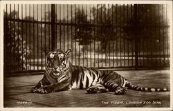 The Tiger, London Zoo