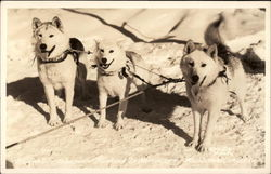 Seppala's Siberian Huskies in Harness Postcard