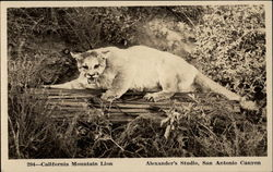 California Mountain Lion
